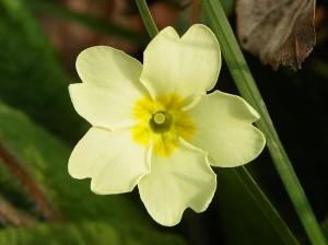 800px-Primrose_(Primula_vulgaris)